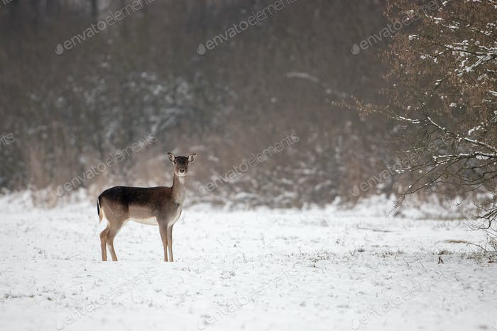 Fallow deer doe on snow in winter with space for copy