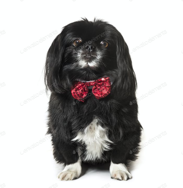 Pekingese, Dog, pet, studio photography, cut out