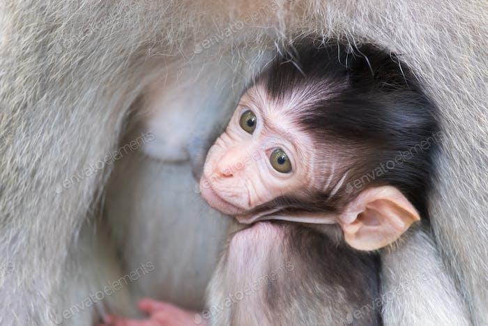 Mono Bebé escondiendo y chupando el pecho de la madre