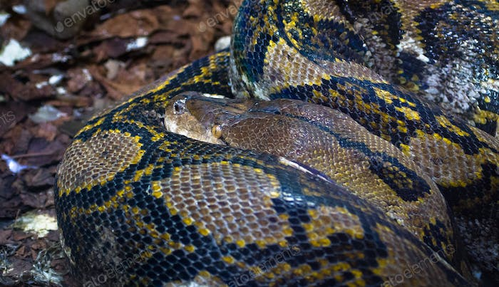 Reticulated Python Curled Up
