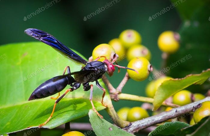 Wasp Up Close in Costa Rica