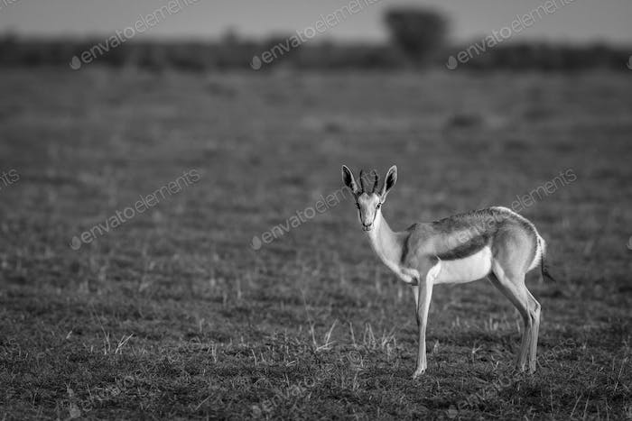 Springbok starring at the camera in black and white.