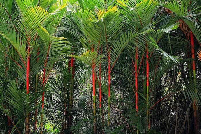 Lipstick palm in Thailand