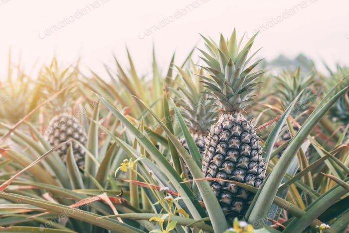 Pineapple at sunlight