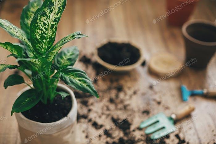 Dieffenbachia Pflanze mit neuem Boden in neuen modernen Topf