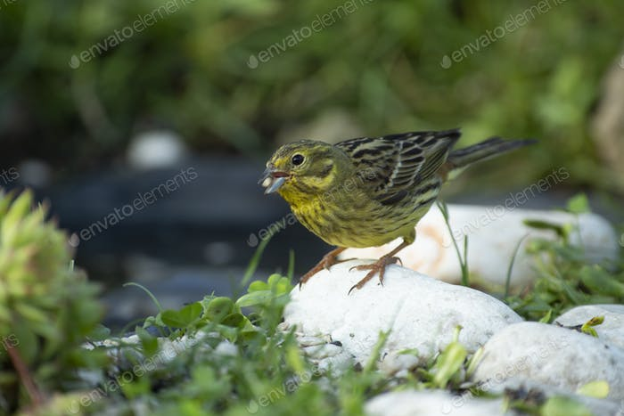 Siskin (Carduelis spinus) in the garden