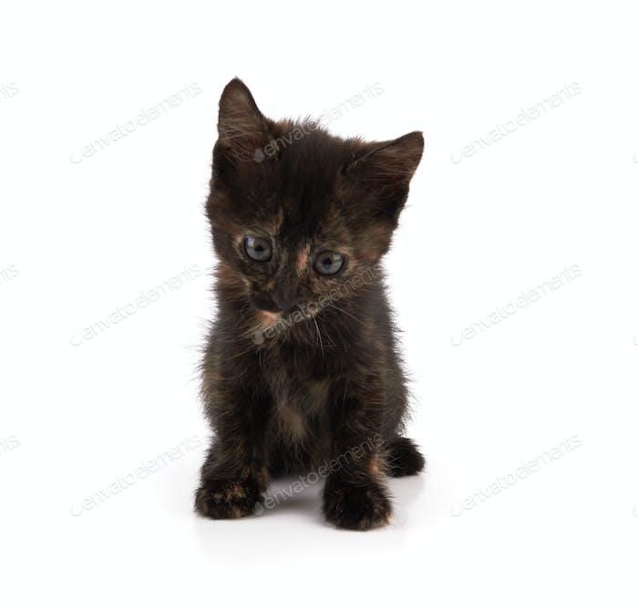 kitten sitting isolated