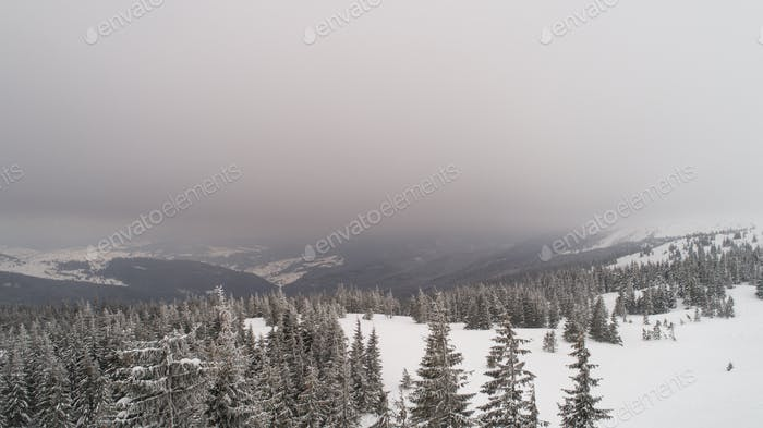 Aerial view of beautiful thick spruce trees