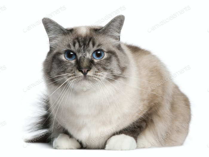 Birman cat, 2 years old, lying in front of white background