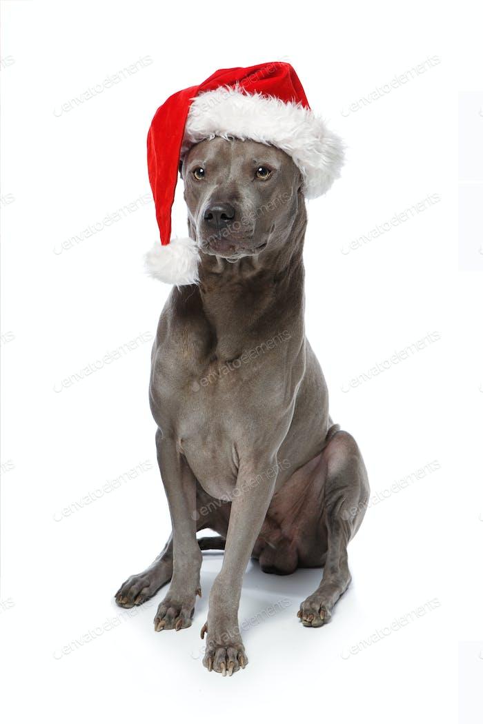 Schöner Thai Rifgbeck Hund in Weihnachtsmütze