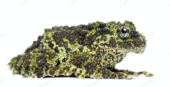 Mossy Frog, Theloderma corticale, also known as a Vietnamese Mossy Frog, or Tonkin