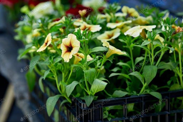 Petunia Blumen in schwarzen Kunststoffkisten Gartencenter.
