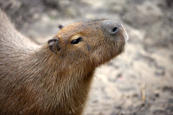 Capybara (Hydrochoerus hydrochaeris). Portrait close-up