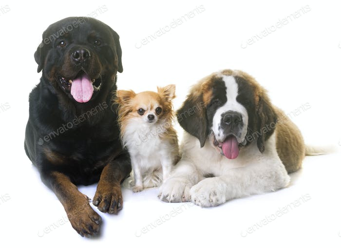 puppy saint bernard, chihuahua and rottweiler