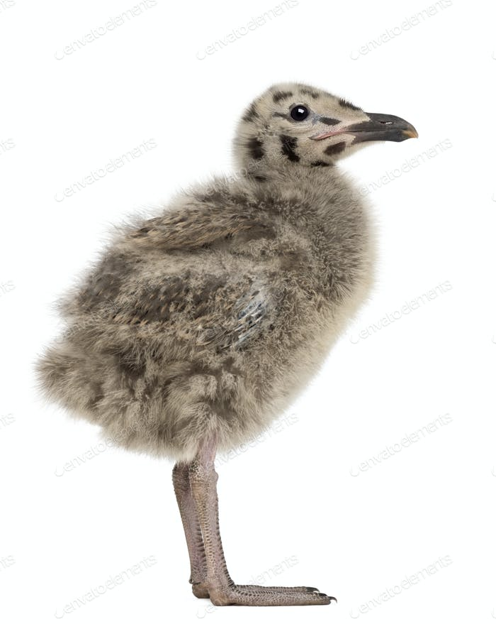 Side view of an European Herring Gull chick, Larus argentatus, 1 month old against white background