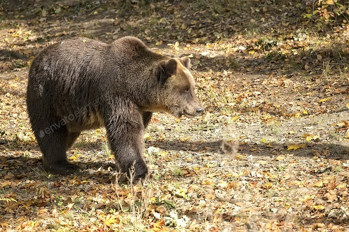 Brown bear in a clearing