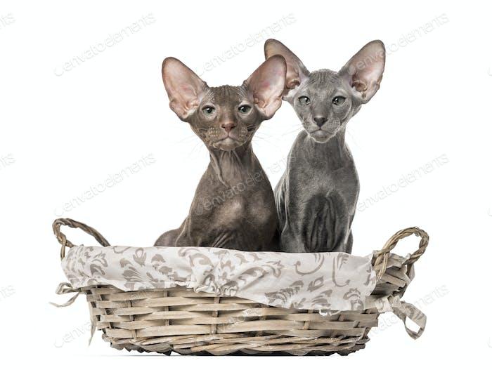 zwei peterbald Kätzchen sitzen in einem Weidenkorb