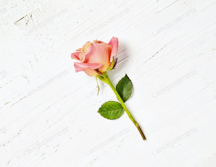 pink rose on white wood background