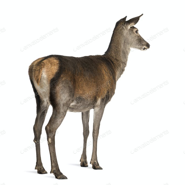 Thumbnail for Female red deer in front of a white background