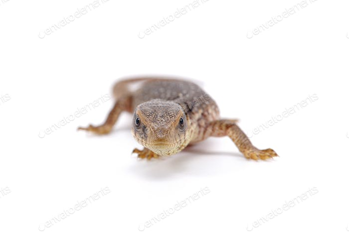 Savannah monitor lizard  isolated on white background