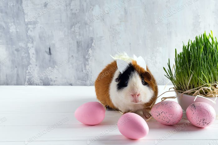 Guinea pig with the ears of the Easter bunny on the stone background of colored eggs and green grass