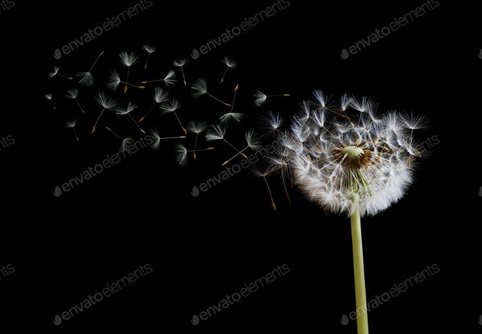 Dandelion seeds in the wind on black background