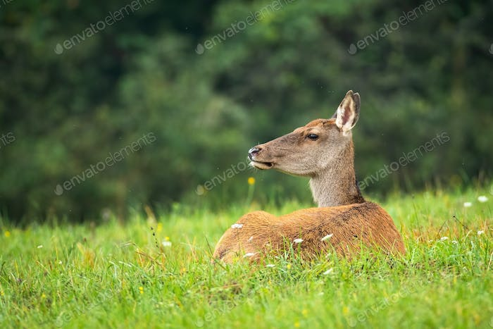 Calm red deer laying on grass in summertime nature