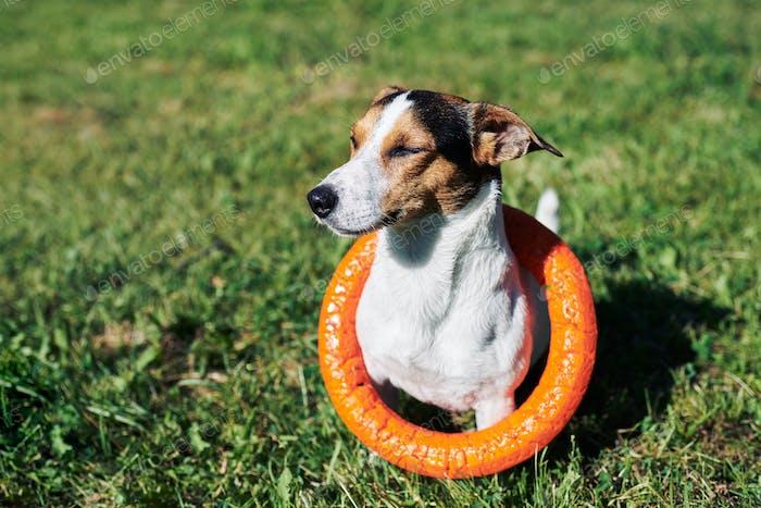 Entzückender Hund mit Spielzeug auf Gras