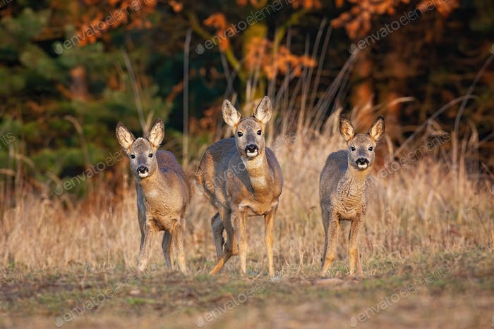 Three roe deer does standing on field in autumn nature