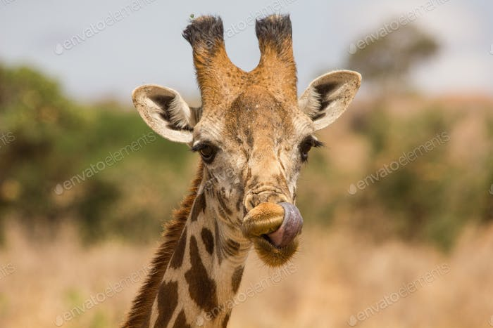 Giraffe in the wild, East Africa