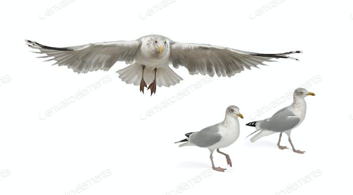 European Herring Gulls, Larus argentatus, 4 years old, walking against white background
