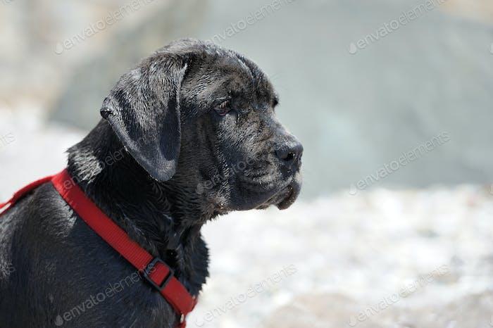 Sad young black dog