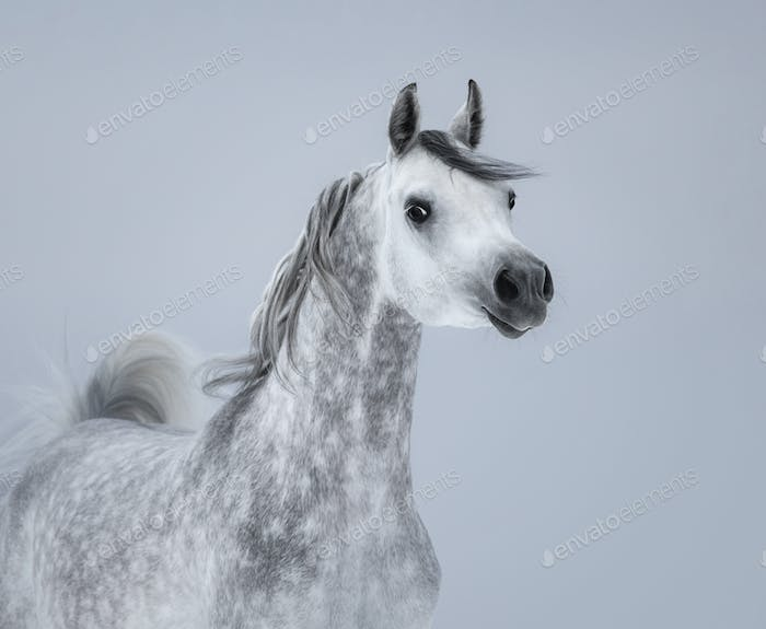 Arabian horse on light gray background.