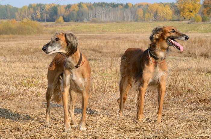 Autumn hunting dogs