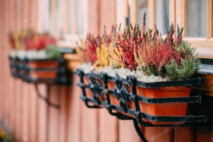 Busch von bunten Calluna Pflanzen in hängenden Töpfen unter Fenster In