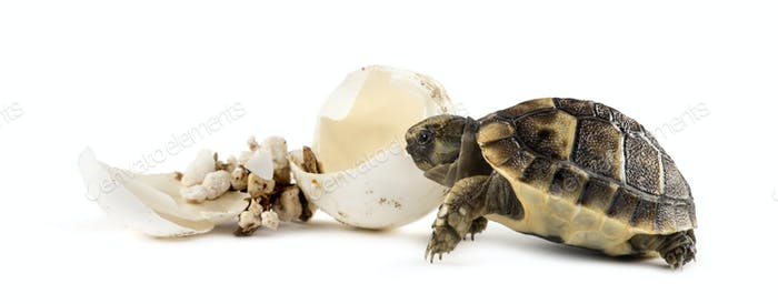 Hatchling, next to the egg from which he hatched out