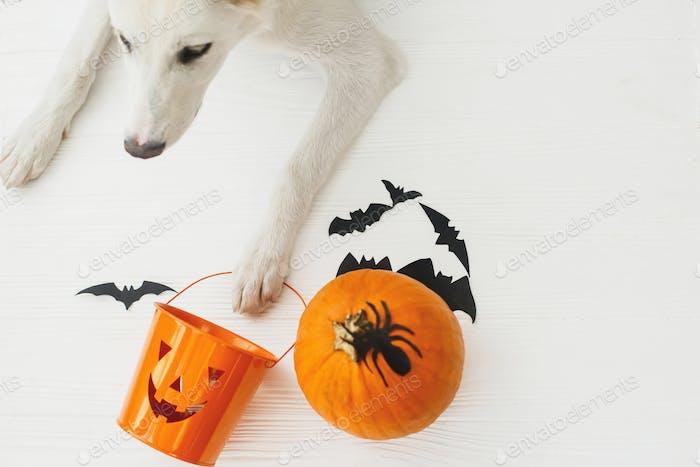 Welpe hält Jack o Laterne Süßigkeiten-Eimer auf weißem Hintergrund mit Kürbis