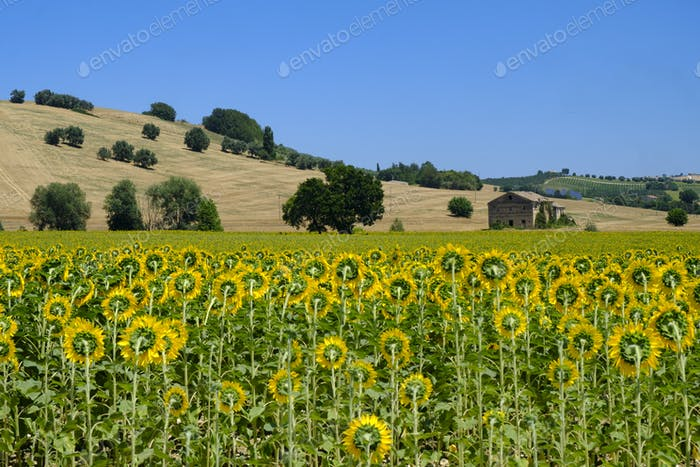Summer landscape in Marches (Italy) near Montecassiano