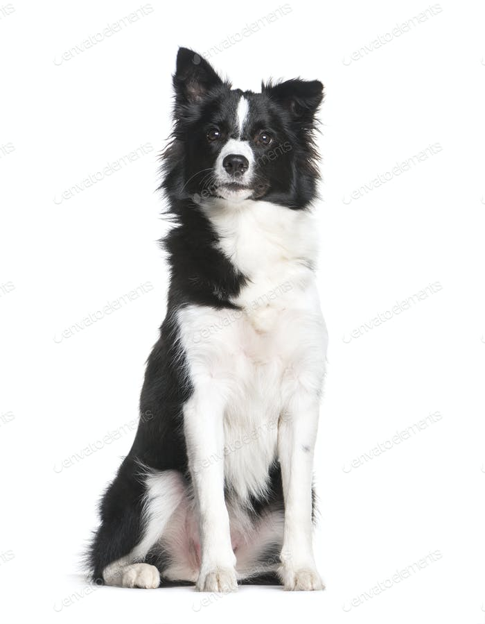 Border Collie, 7 months old, sitting in front of white background