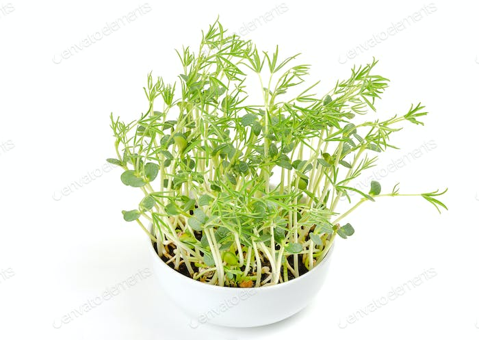 Sweet lupin bean seedlings in white bowl