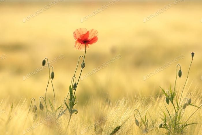 Poppy in the field at sunrise