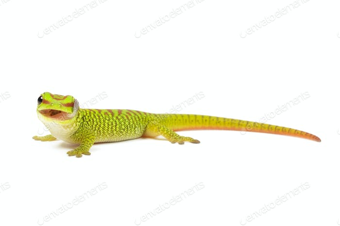 Baby Madagaskar Day Gecko