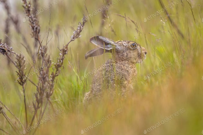 European Hare hiding in grassland vegetation