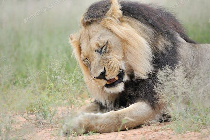 Male lion in the Kalahari