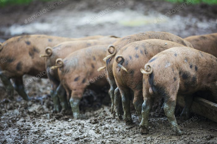 Eine Gruppe von Schweinen in einem schlammigen Feld.