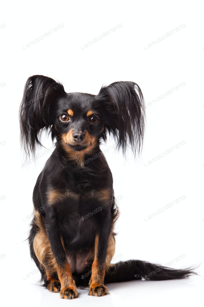 Toy terrier. Russian toy terrier  on a white background