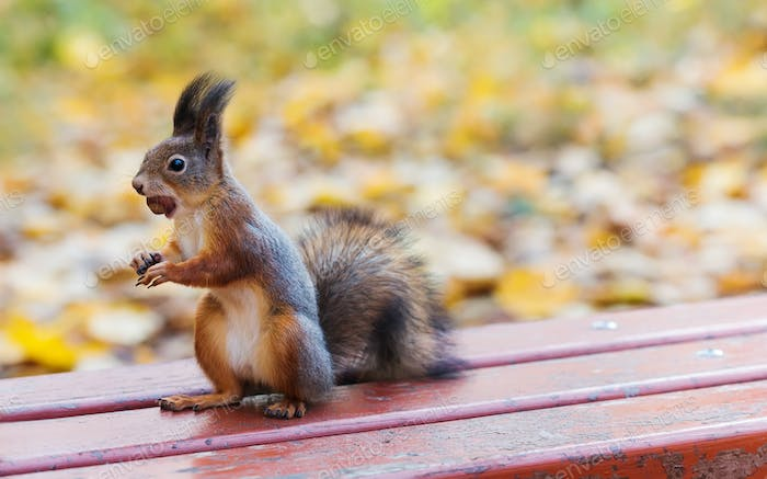 Red squirrel with a hazelnut in its mouth is standing on an old wooden bench. Copy space, autumn