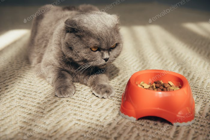 scottish fold cat with red bowl full of cat food