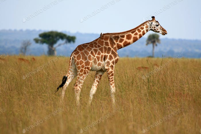 Giraffe, Uganda, Africa