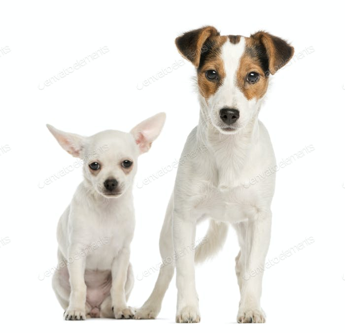 Chihuahua puppy and Jack Russell Terrier, next to each other, isolated on white